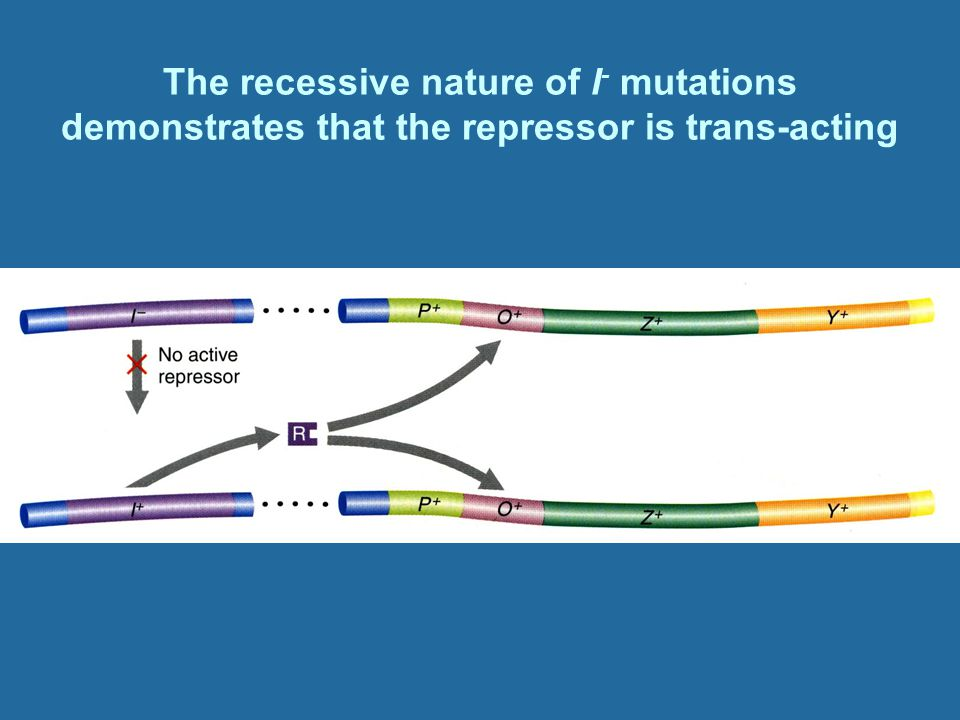 The recessive nature of I- mutations demonstrates that the repressor is trans-acting