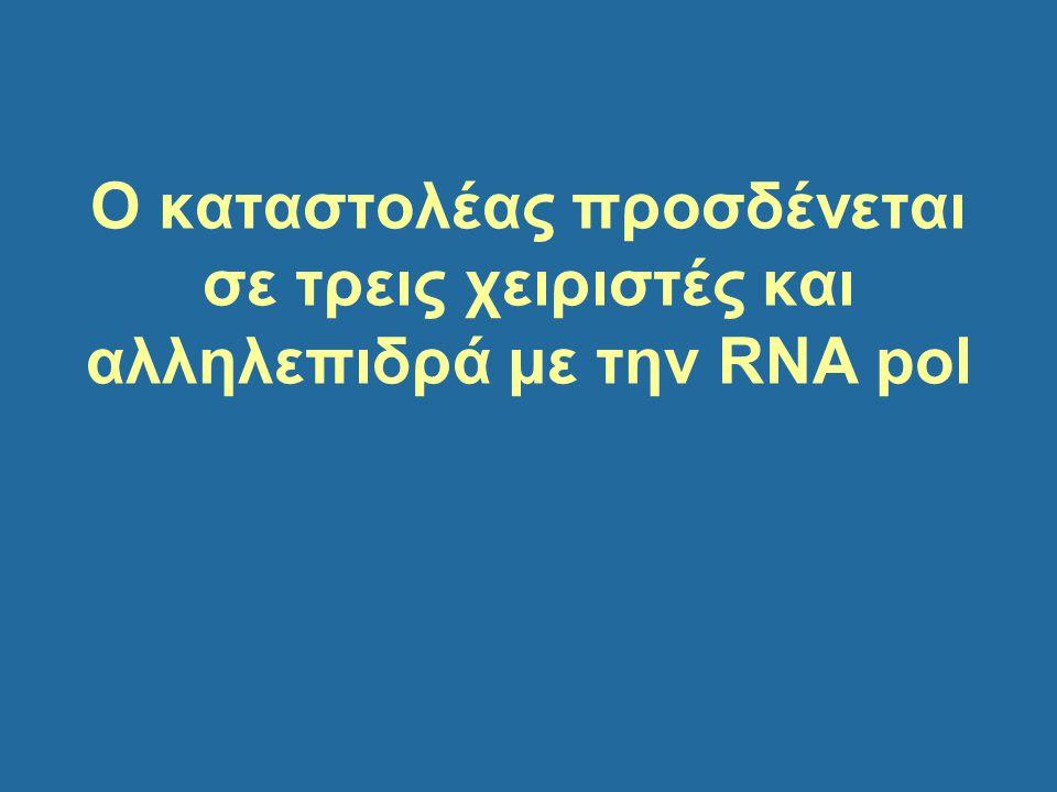 Ο καταστολέας προσδένεται σε τρεις χειριστές και αλληλεπιδρά με την RNA pol
