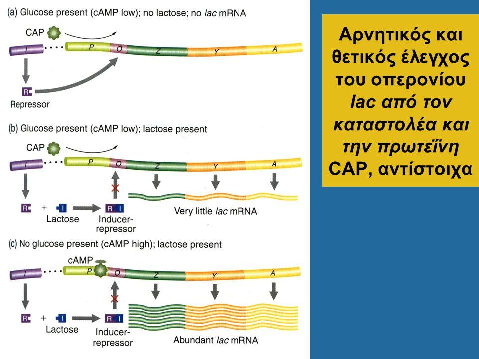 Αρνητικός και θετικός έλεγχος του οπερονίου lac από τον καταστολέα και την πρωτεΐνη CAP, αντίστοιχα