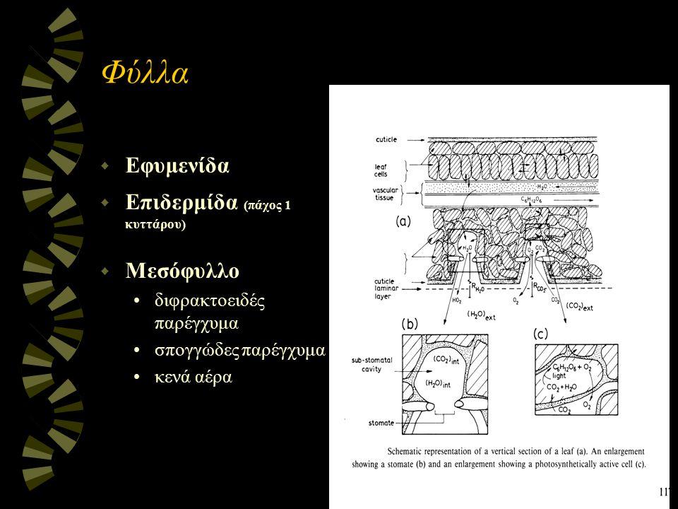 Φύλλα Εφυμενίδα Επιδερμίδα (πάχος 1 κυττάρου) Μεσόφυλλο