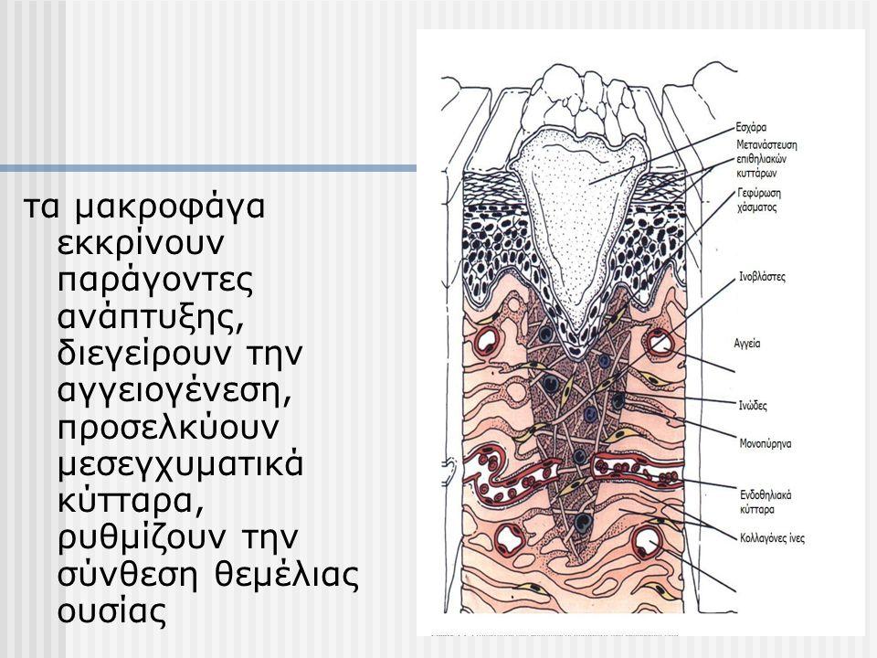 τα μακροφάγα εκκρίνουν παράγοντες ανάπτυξης, διεγείρουν την αγγειογένεση, προσελκύουν μεσεγχυματικά κύτταρα, ρυθμίζουν την σύνθεση θεμέλιας ουσίας