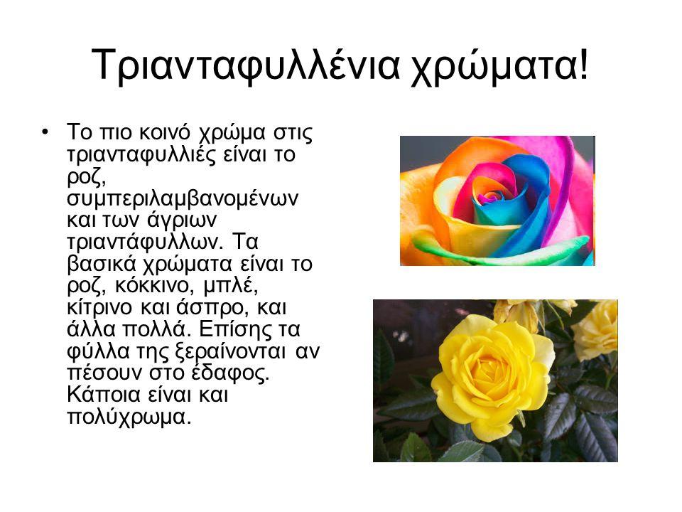 Τριανταφυλλένια χρώματα!
