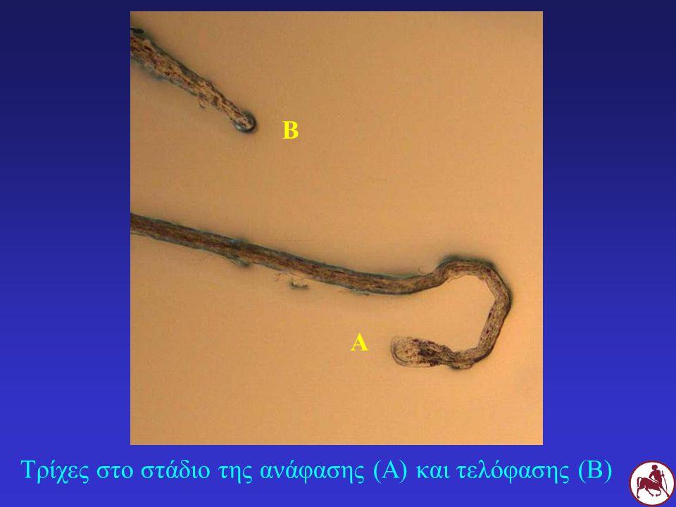 Β Α Τρίχες στο στάδιο της ανάφασης (Α) και τελόφασης (Β)