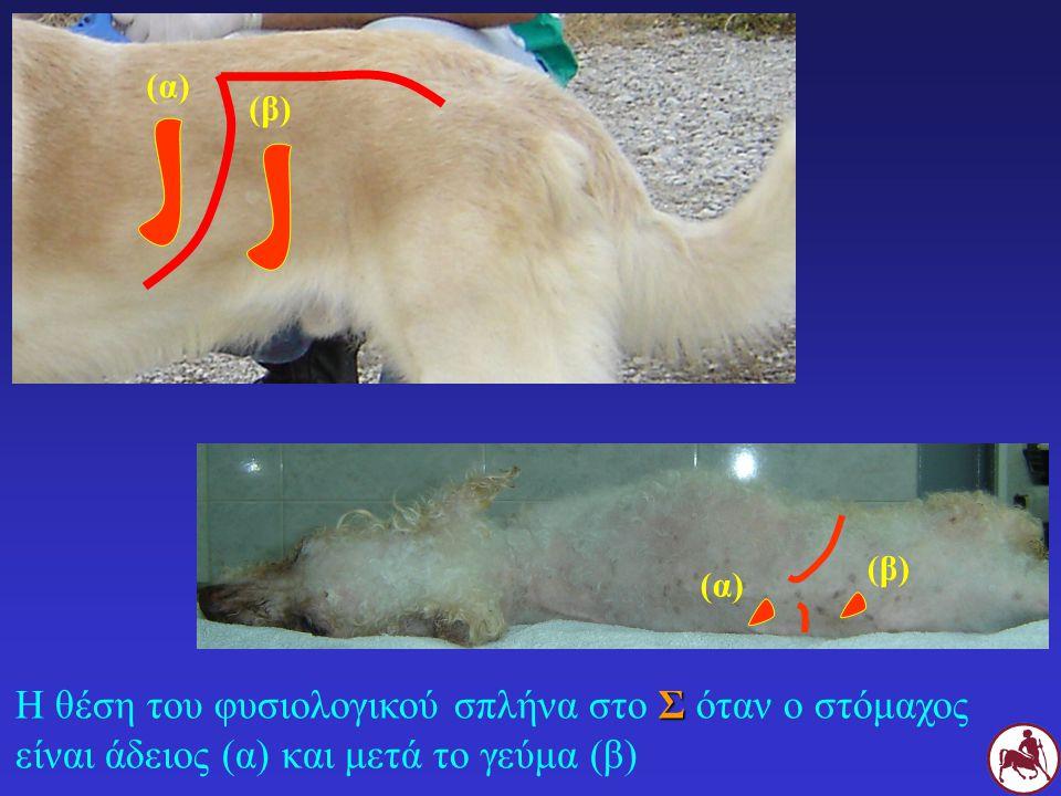 (α) (β) (β) (α) Η θέση του φυσιολογικού σπλήνα στο Σ όταν ο στόμαχος είναι άδειος (α) και μετά το γεύμα (β)