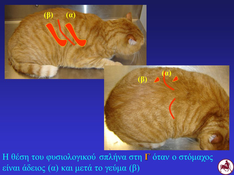 (β) (α) (α) (β) Η θέση του φυσιολογικού σπλήνα στη Γ όταν ο στόμαχος είναι άδειος (α) και μετά το γεύμα (β)