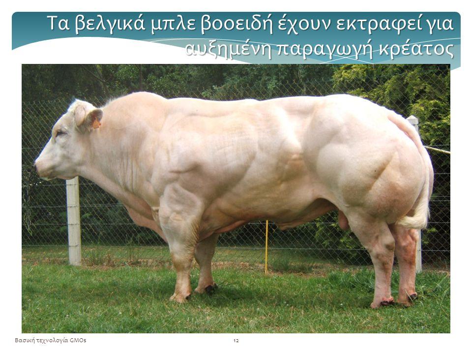 Τα βελγικά μπλε βοοειδή έχουν εκτραφεί για αυξημένη παραγωγή κρέατος