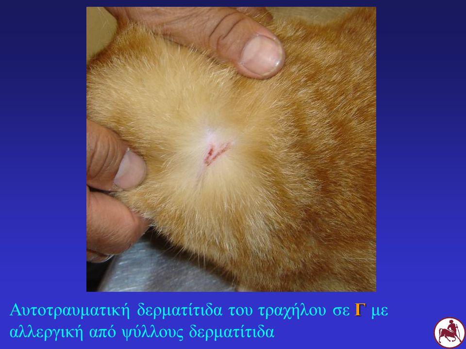 Αυτοτραυματική δερματίτιδα του τραχήλου σε Γ με αλλεργική από ψύλλους δερματίτιδα