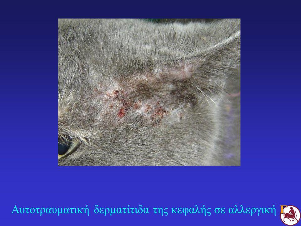 Αυτοτραυματική δερματίτιδα της κεφαλής σε αλλεργική Γ