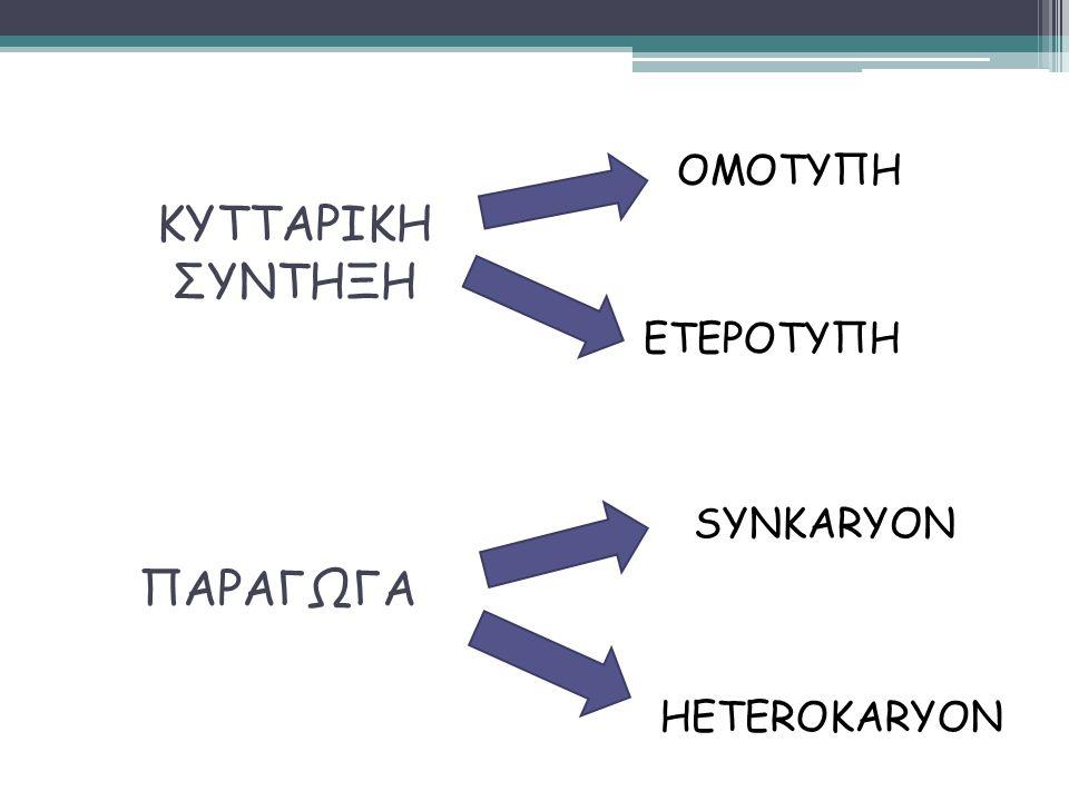 ΟΜΟΤΥΠΗ ΚΥΤΤΑΡΙΚΗ ΣΥΝΤΗΞΗ ΕΤΕΡΟΤΥΠΗ SYNKARYON ΠΑΡΑΓΩΓΑ HETEROKARYON