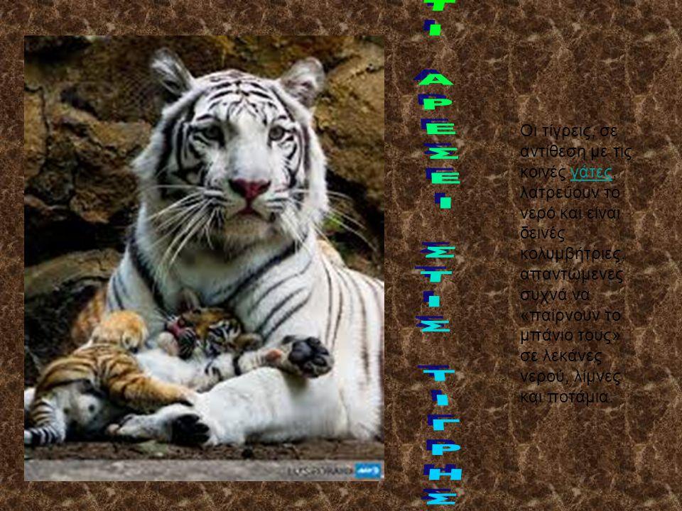 Οι τίγρεις, σε αντίθεση με τις κοινές γάτες, λατρεύουν το νερό και είναι δεινές κολυμβήτριες, απαντώμενες συχνά να «παίρνουν το μπάνιο τους» σε λεκάνες νερού, λίμνες και ποτάμια.