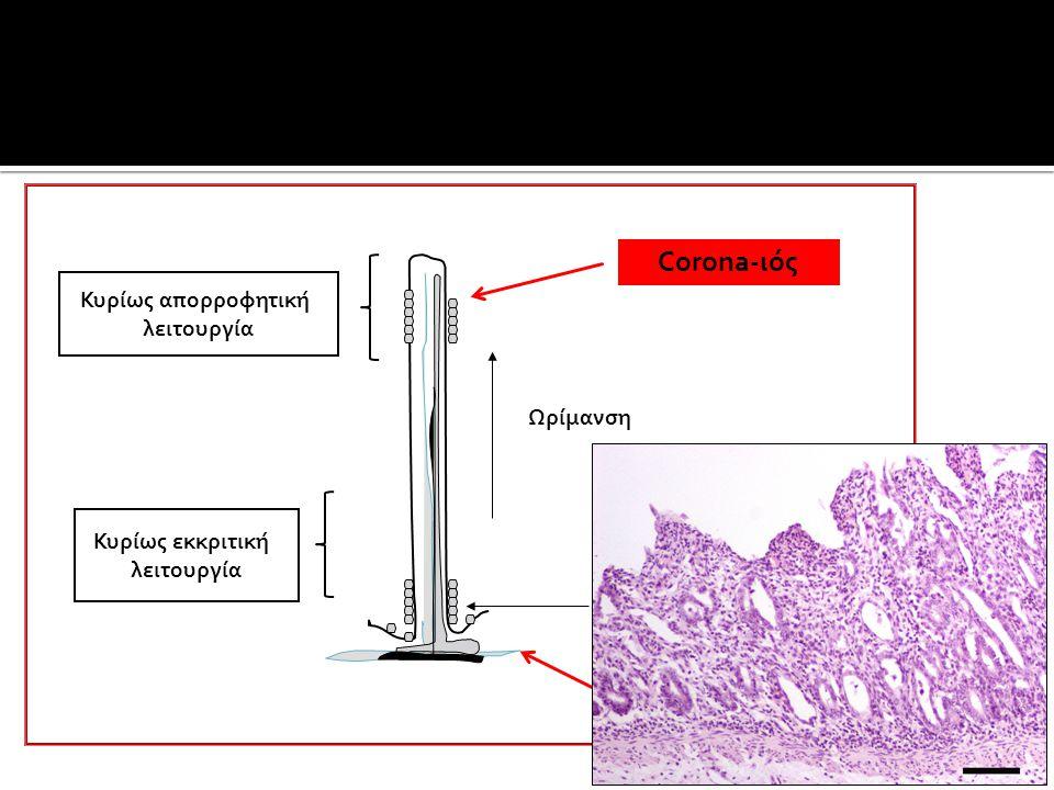 Corona-ιός CPV-2 Κυρίως απορροφητική λειτουργία Ωρίμανση