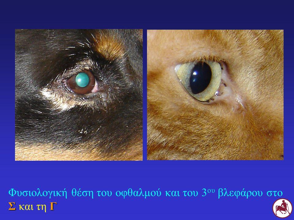 Φυσιολογική θέση του οφθαλμού και του 3ου βλεφάρου στο Σ και τη Γ