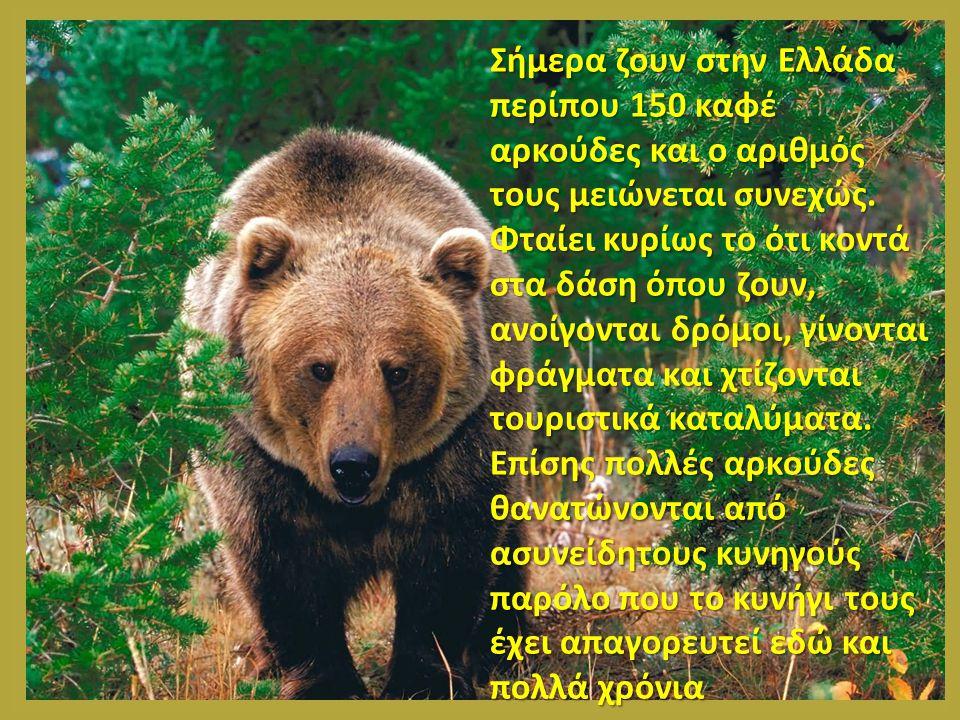 Σήμερα ζουν στην Ελλάδα περίπου 150 καφέ αρκούδες και ο αριθμός τους μειώνεται συνεχώς.