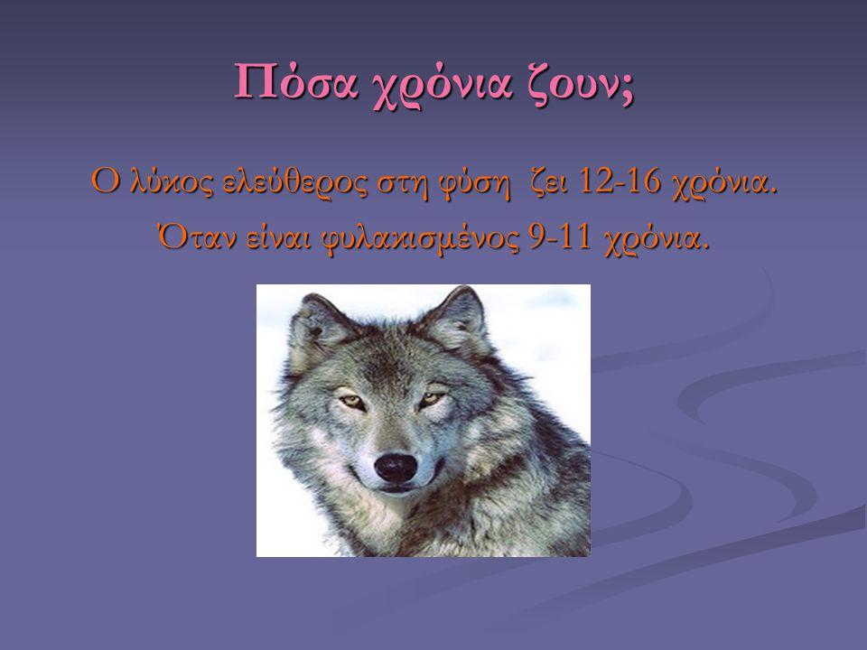 Πόσα χρόνια ζουν; Ο λύκος ελεύθερος στη φύση ζει 12-16 χρόνια.