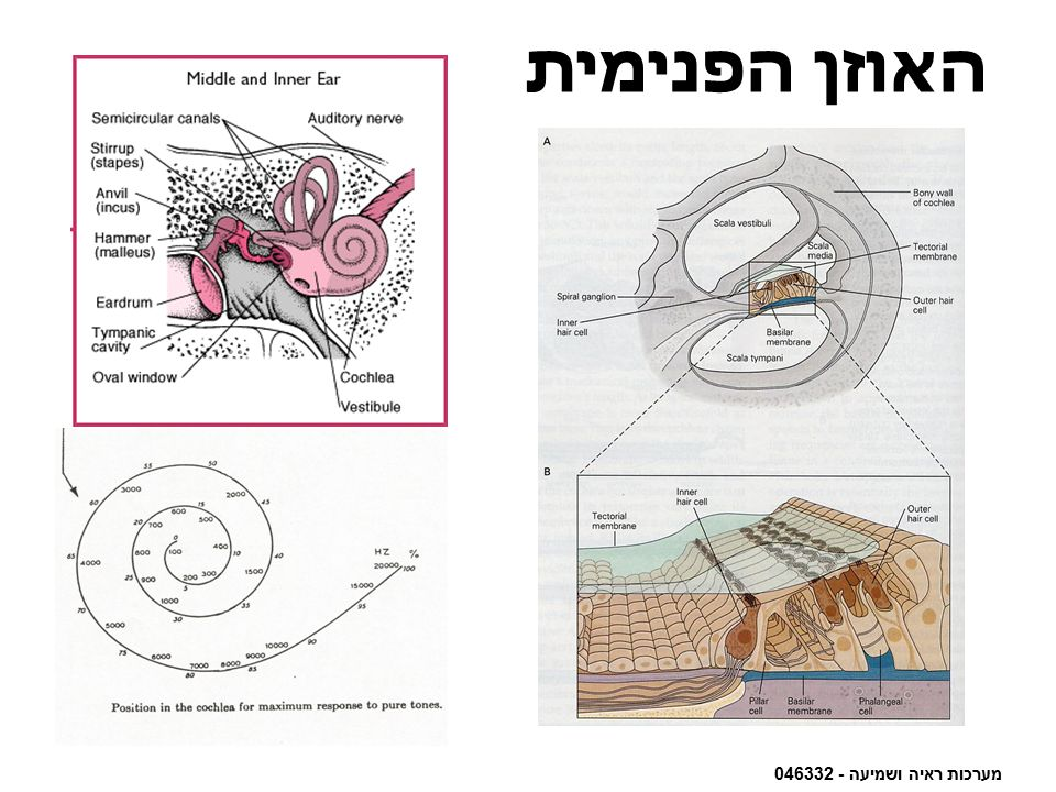 האוזן הפנימית מערכות ראיה ושמיעה - 046332