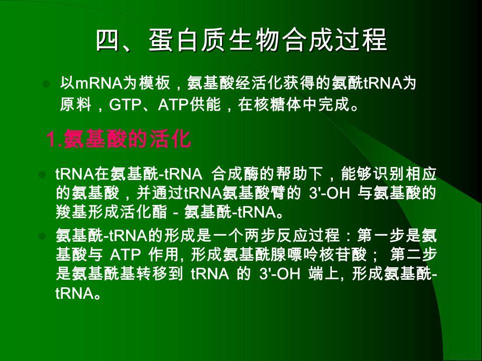四、蛋白质生物合成过程 1.氨基酸的活化 以mRNA为模板,氨基酸经活化获得的氨酰tRNA为原料,GTP、ATP供能,在核糖体中完成。
