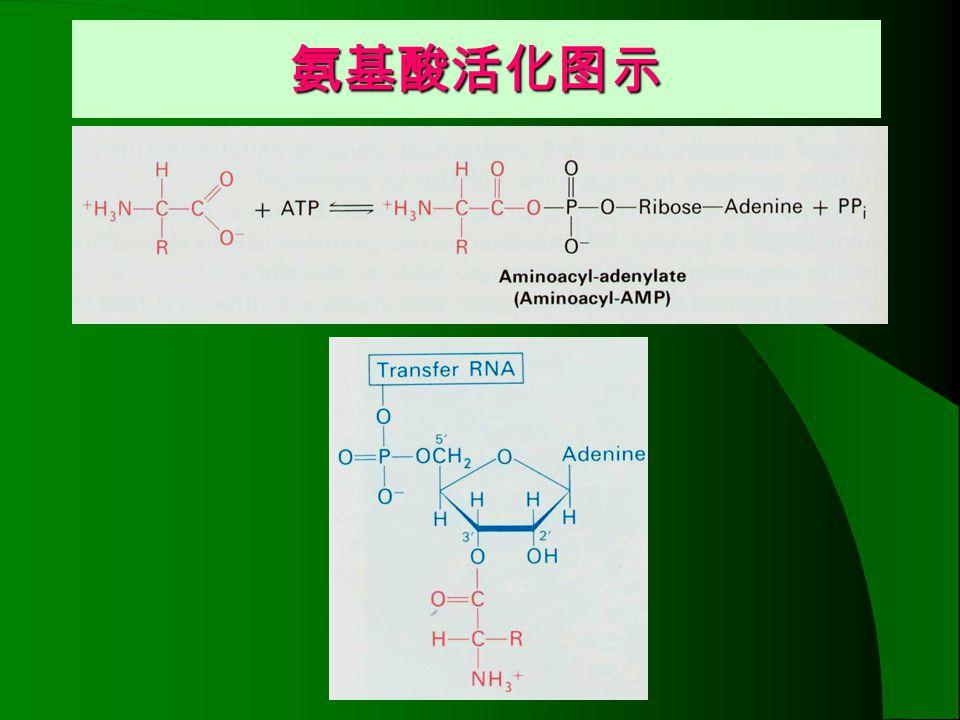 氨基酸活化图示