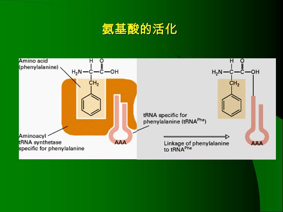 氨基酸的活化