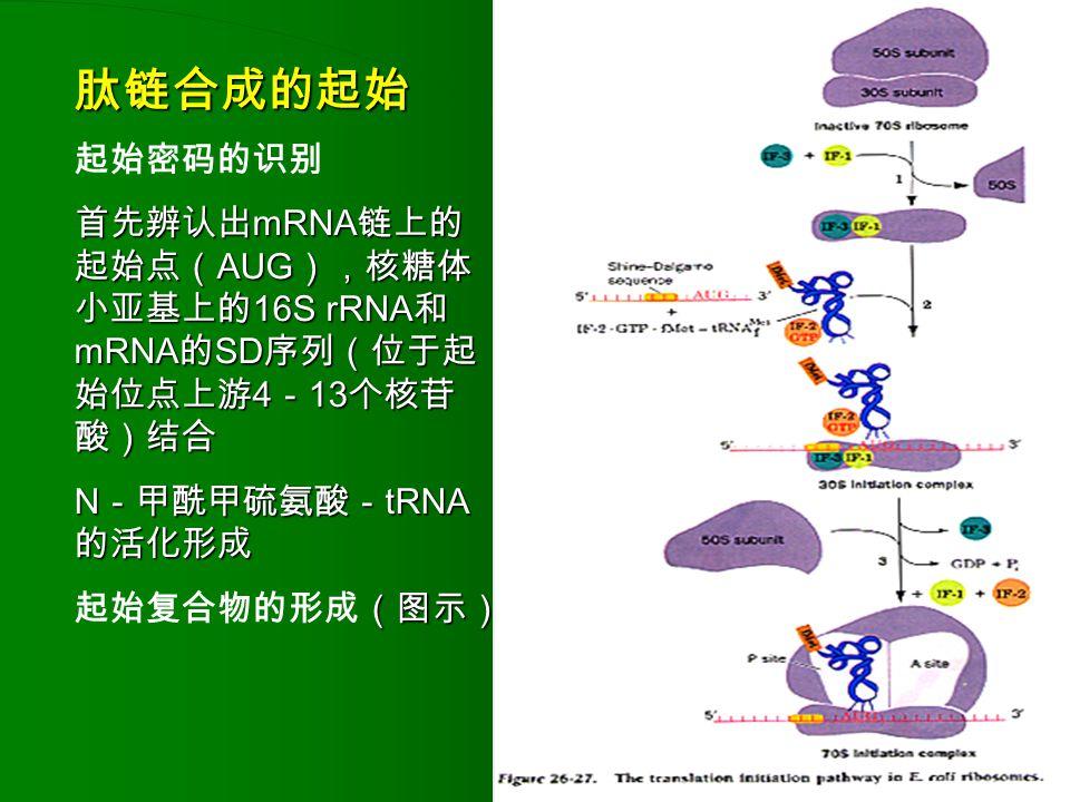 肽链合成的起始 起始密码的识别. 首先辨认出mRNA链上的起始点(AUG),核糖体小亚基上的16S rRNA和mRNA的SD序列(位于起始位点上游4-13个核苷酸)结合. N-甲酰甲硫氨酸-tRNA的活化形成.