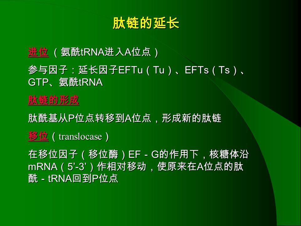 肽链的延长 进位 (氨酰tRNA进入A位点) 参与因子:延长因子EFTu(Tu)、EFTs(Ts)、GTP、氨酰tRNA 肽链的形成
