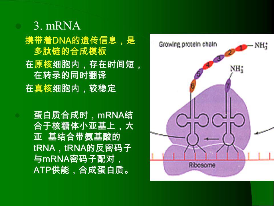 3. mRNA 携带着DNA的遗传信息,是多肽链的合成模板 在原核细胞内,存在时间短,在转录的同时翻译 在真核细胞内,较稳定