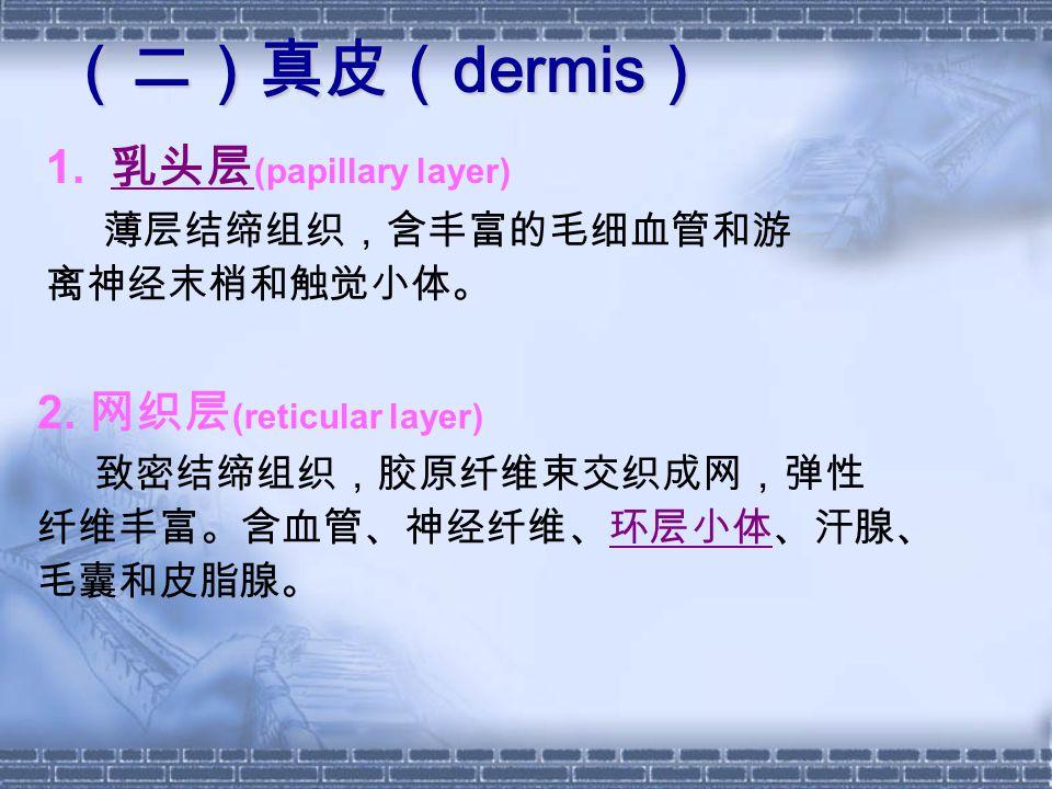 (二)真皮(dermis) 1. 乳头层(papillary layer) 2. 网织层(reticular layer)