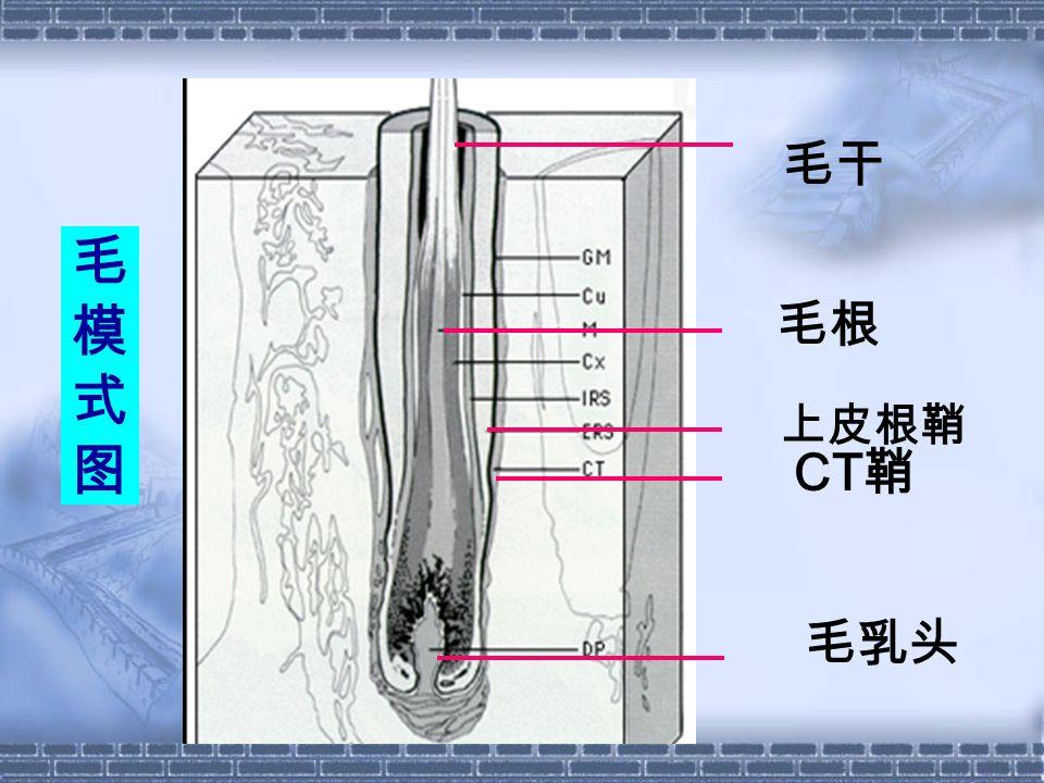毛干 毛模式图 毛根 上皮根鞘 CT鞘 毛乳头