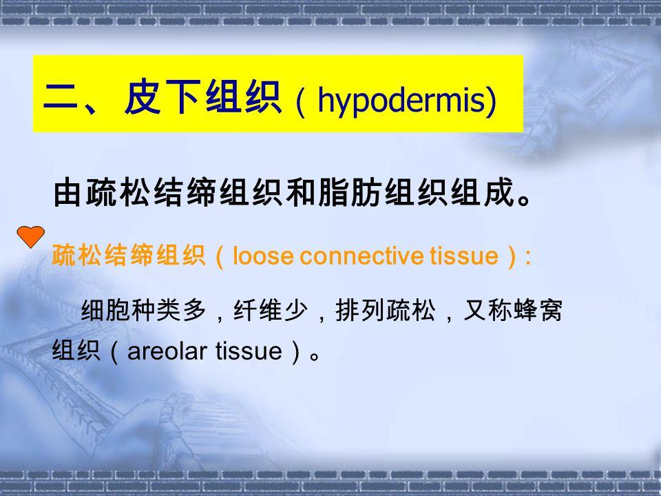二、皮下组织(hypodermis) 由疏松结缔组织和脂肪组织组成。 疏松结缔组织(loose connective tissue):