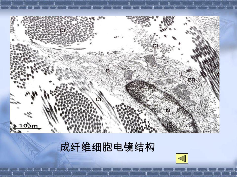 成纤维细胞电镜结构