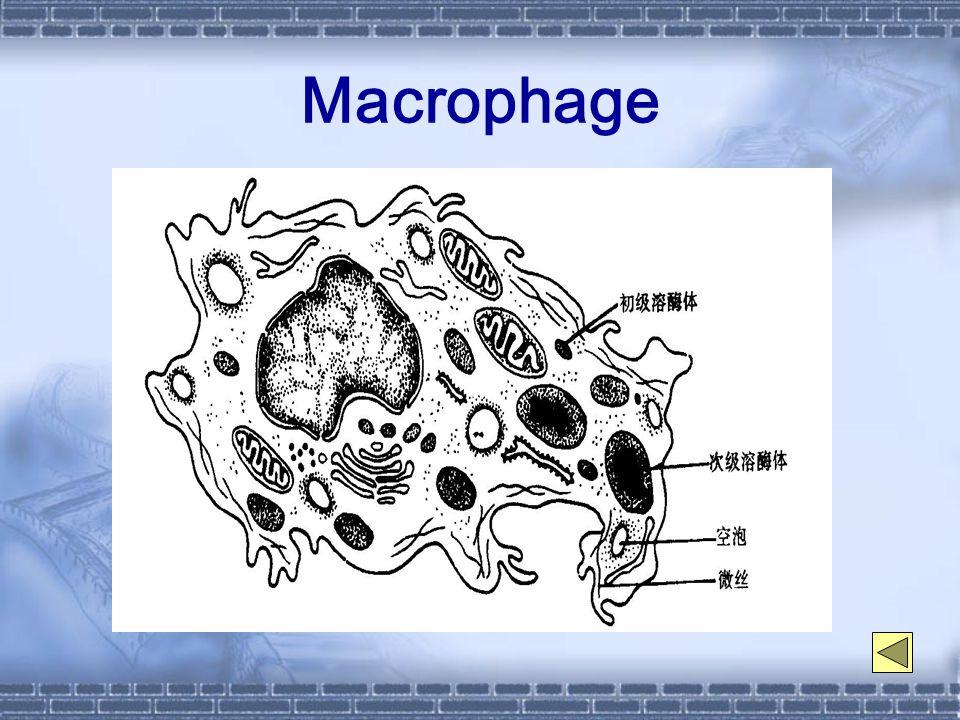 Macrophage