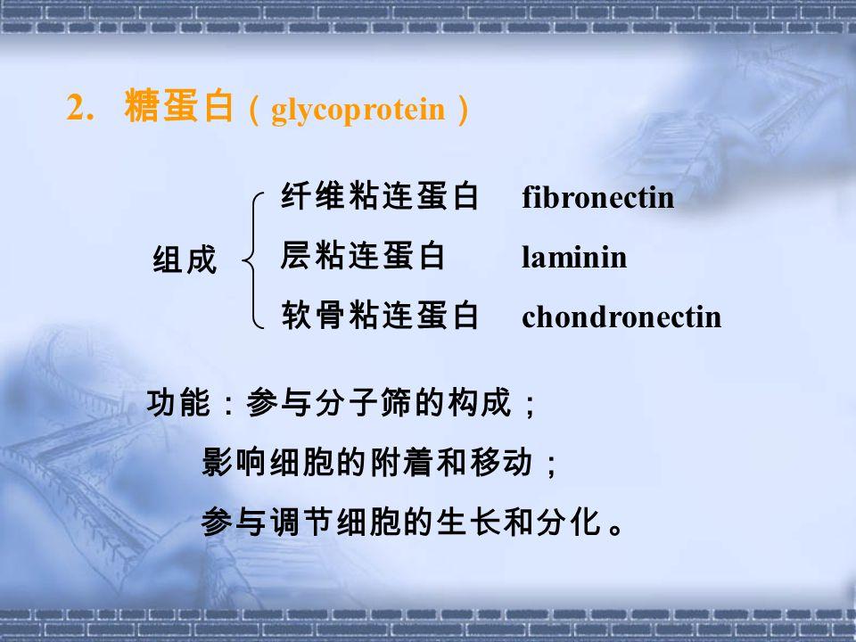 2. 糖蛋白(glycoprotein) 纤维粘连蛋白 fibronectin 层粘连蛋白 laminin