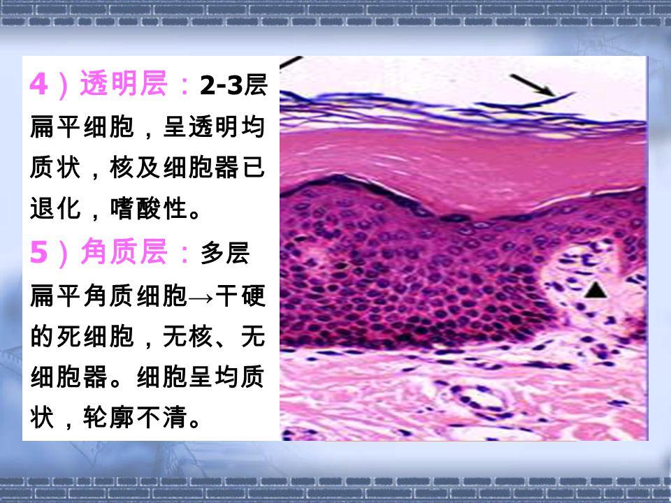4)透明层:2-3层扁平细胞,呈透明均质状,核及细胞器已退化,嗜酸性。