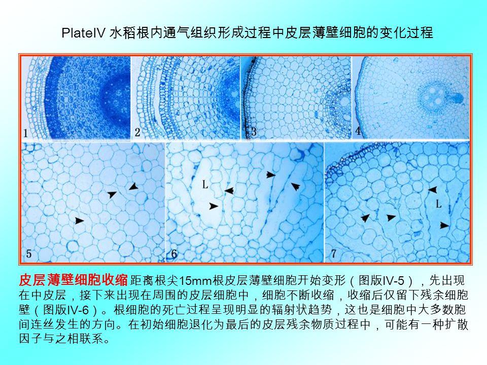 PlateⅣ 水稻根内通气组织形成过程中皮层薄壁细胞的变化过程