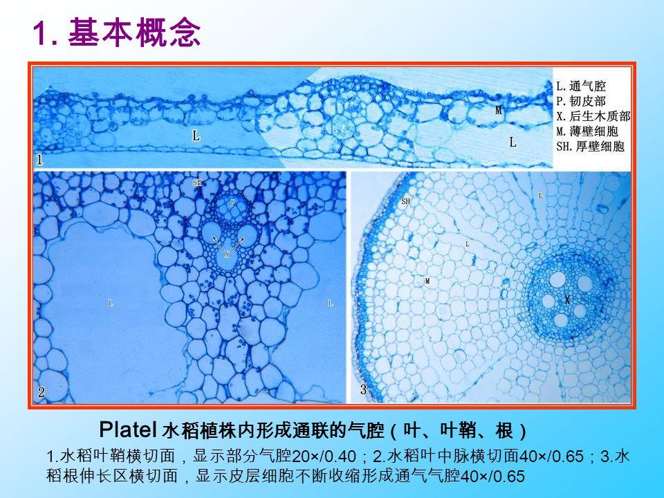 PlateI 水稻植株内形成通联的气腔(叶、叶鞘、根)