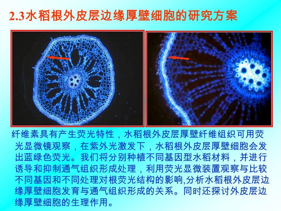 2.3水稻根外皮层边缘厚壁细胞的研究方案