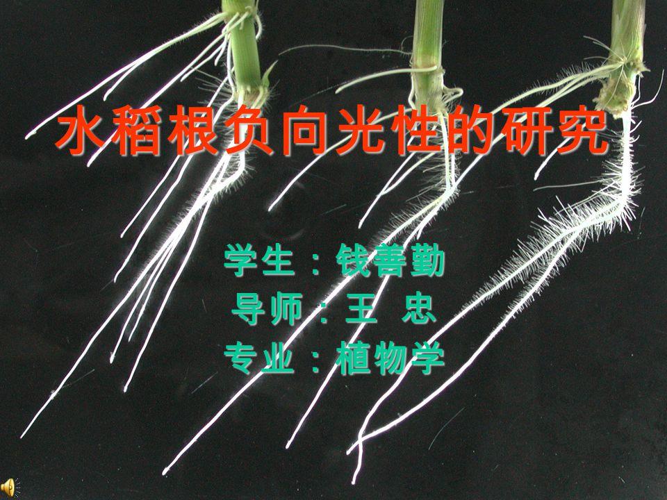 水稻根负向光性的研究 学生:钱善勤 导师:王 忠 专业:植物学