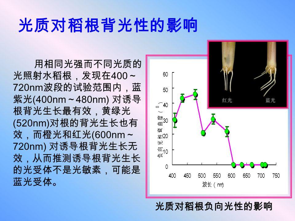 光质对稻根背光性的影响