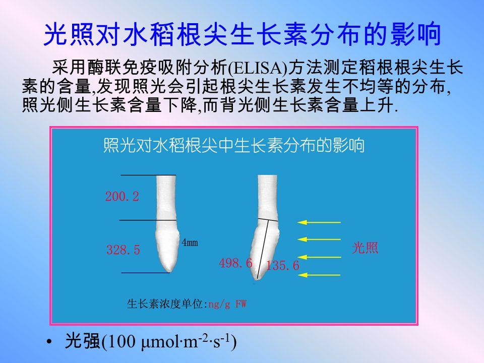 光照对水稻根尖生长素分布的影响 光强(100 μmol·m-2·s-1)