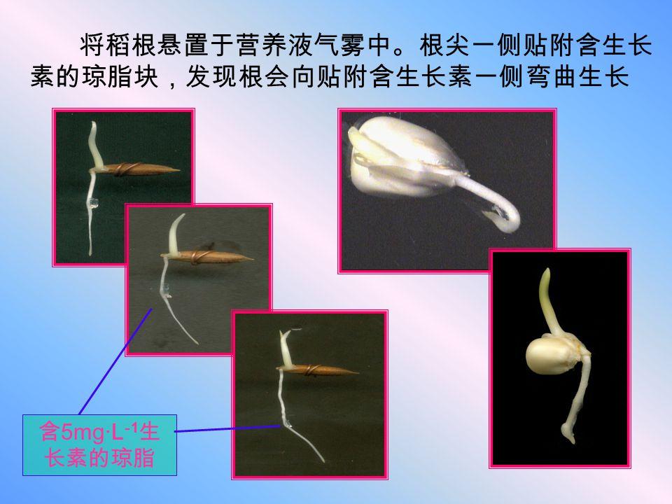 将稻根悬置于营养液气雾中。根尖一侧贴附含生长素的琼脂块,发现根会向贴附含生长素一侧弯曲生长