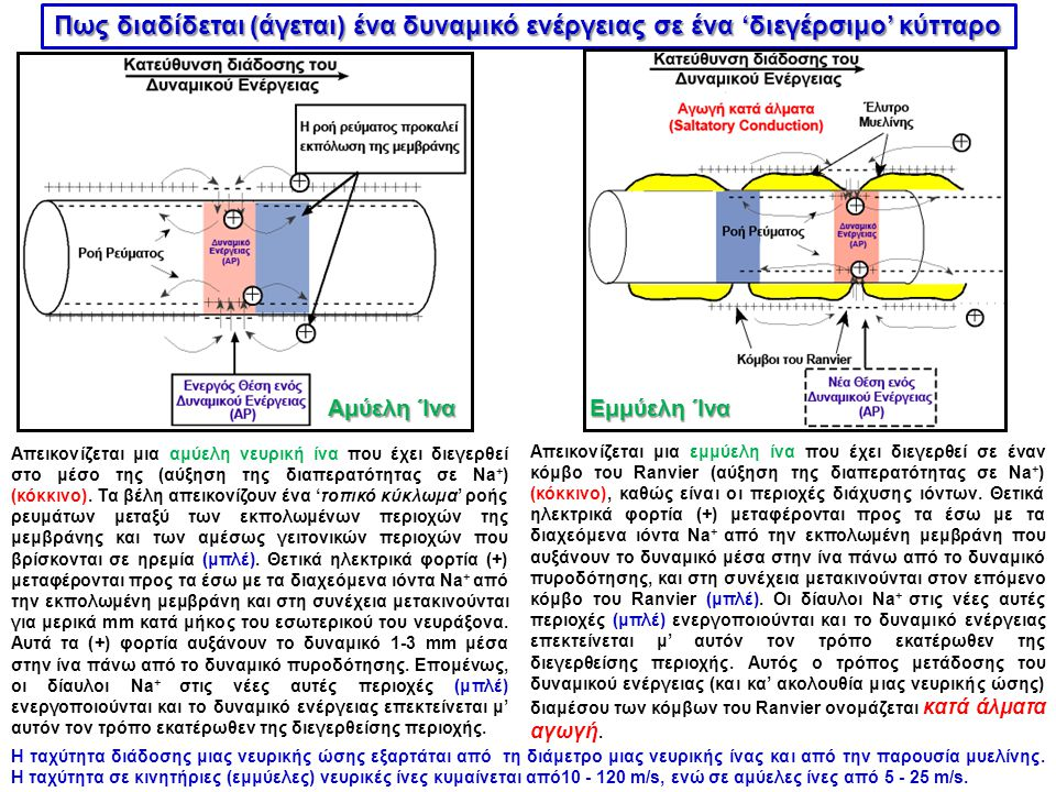 Πως διαδίδεται (άγεται) ένα δυναμικό ενέργειας σε ένα 'διεγέρσιμο' κύτταρο