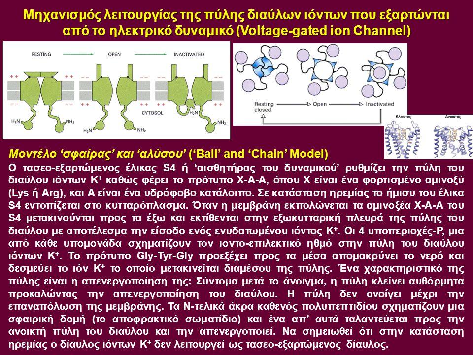 Μηχανισμός λειτουργίας της πύλης διαύλων ιόντων που εξαρτώνται από το ηλεκτρικό δυναμικό (Voltage-gated ion Channel)