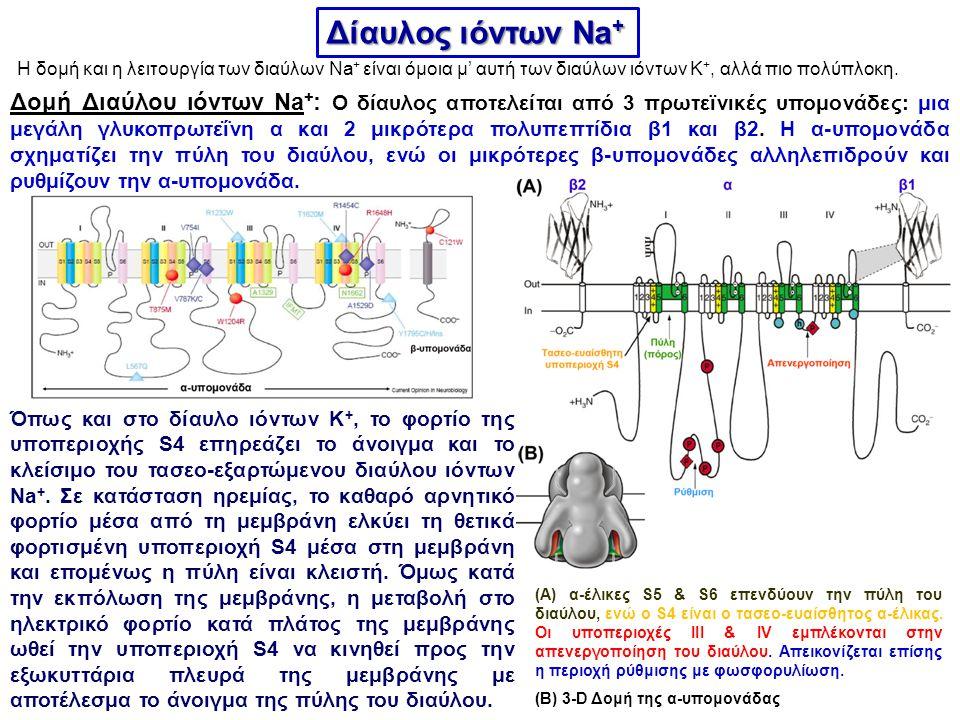 Δίαυλος ιόντων Na+ Η δομή και η λειτουργία των διαύλων Na+ είναι όμοια μ' αυτή των διαύλων ιόντων K+, αλλά πιο πολύπλοκη.