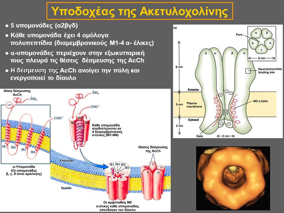 Υποδοχέας της Ακετυλοχολίνης