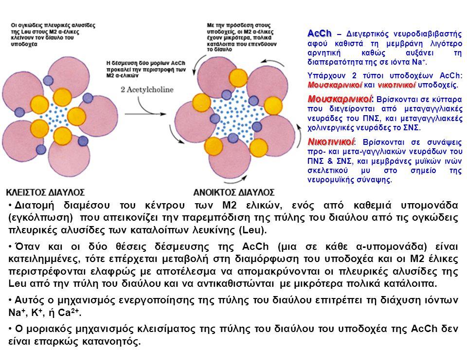 AcCh – Διεγερτικός νευροδιαβιβαστής αφού καθιστά τη μεμβράνη λιγότερο αρνητική καθώς αυξάνει τη διαπερατότητα της σε ιόντα Na+.