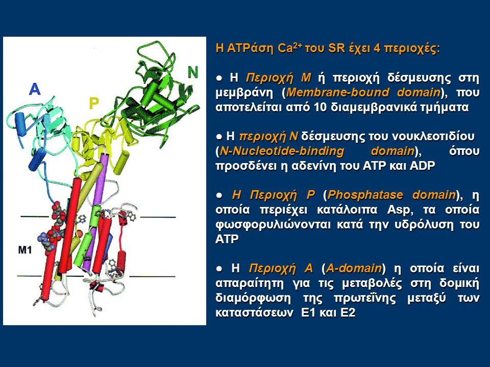 Η ATPάση Ca2+ του SR έχει 4 περιοχές: