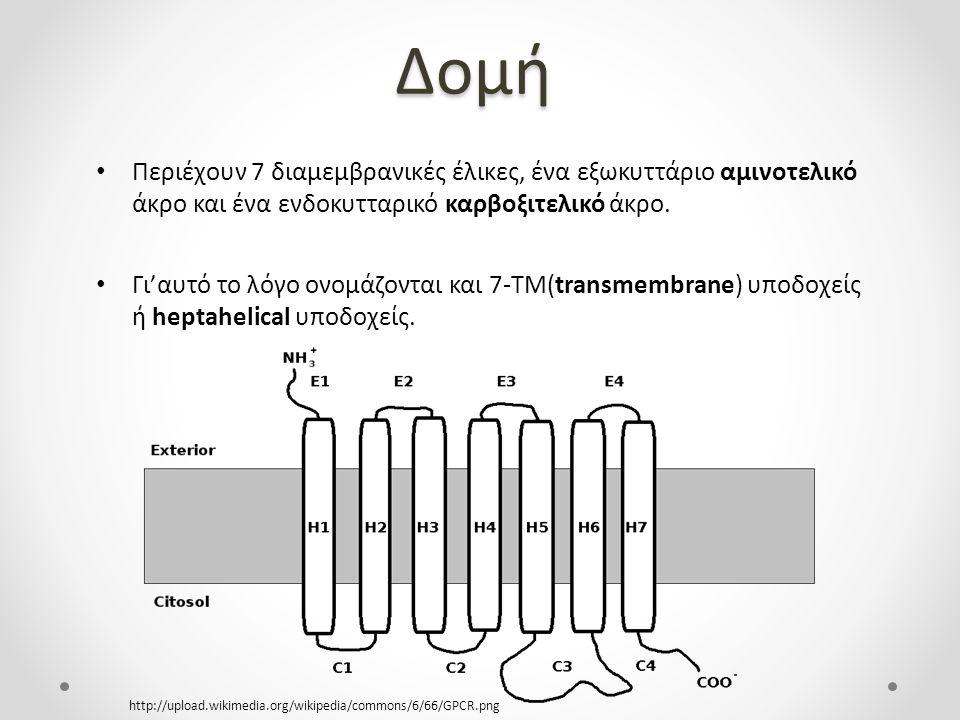 Δομή Περιέχουν 7 διαμεμβρανικές έλικες, ένα εξωκυττάριο αμινοτελικό άκρο και ένα ενδοκυτταρικό καρβοξιτελικό άκρο.