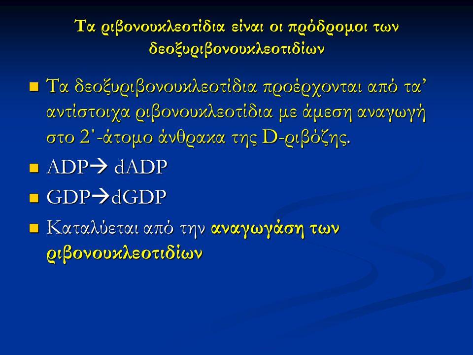 Τα ριβονουκλεοτίδια είναι οι πρόδρομοι των δεοξυριβονουκλεοτιδίων