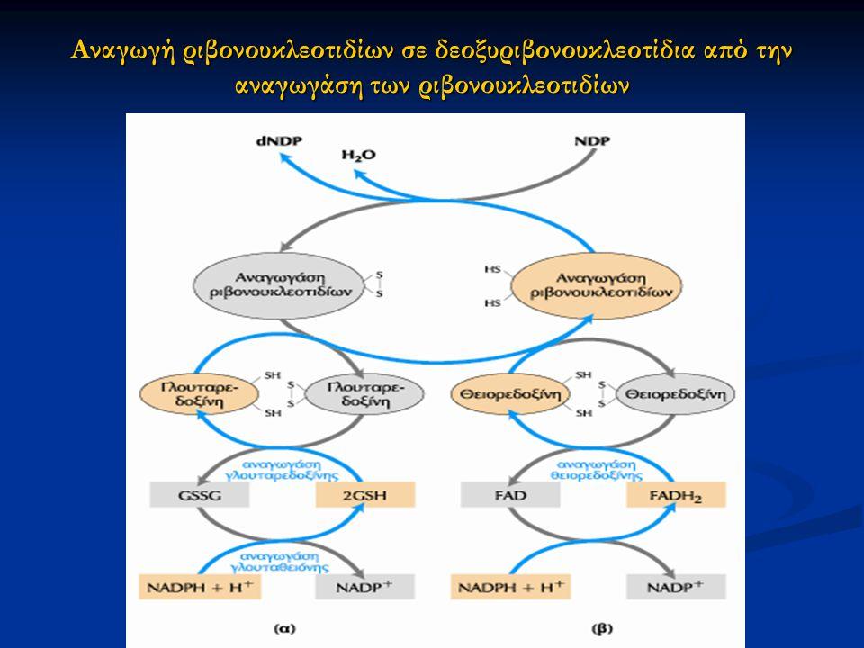 Αναγωγή ριβονουκλεοτιδίων σε δεοξυριβονουκλεοτίδια από την αναγωγάση των ριβονουκλεοτιδίων