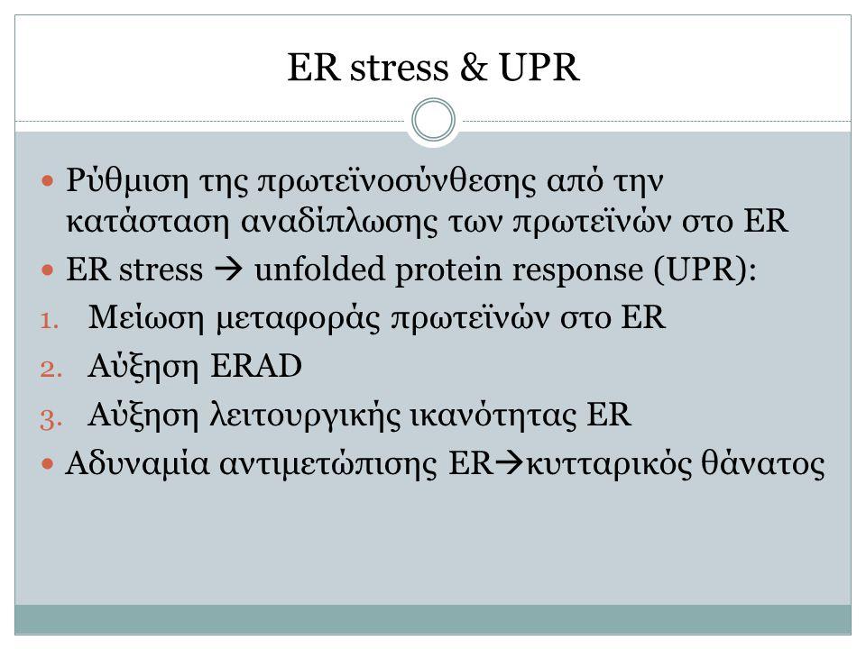 ER stress & UPR Ρύθμιση της πρωτεϊνοσύνθεσης από την κατάσταση αναδίπλωσης των πρωτεϊνών στο ER. ER stress  unfolded protein response (UPR):