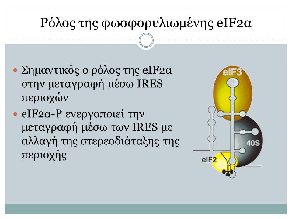 Ρόλος της φωσφορυλιωμένης eIF2α